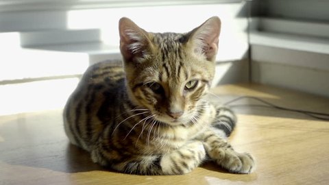 Beautiful Toyger Kitten Striped Tiger Cat In Apartment Interior