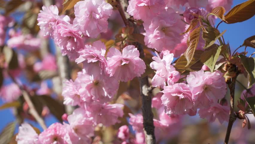 Spring Cherry Sakura Tree Flower Stock Footage Video 100 Royalty