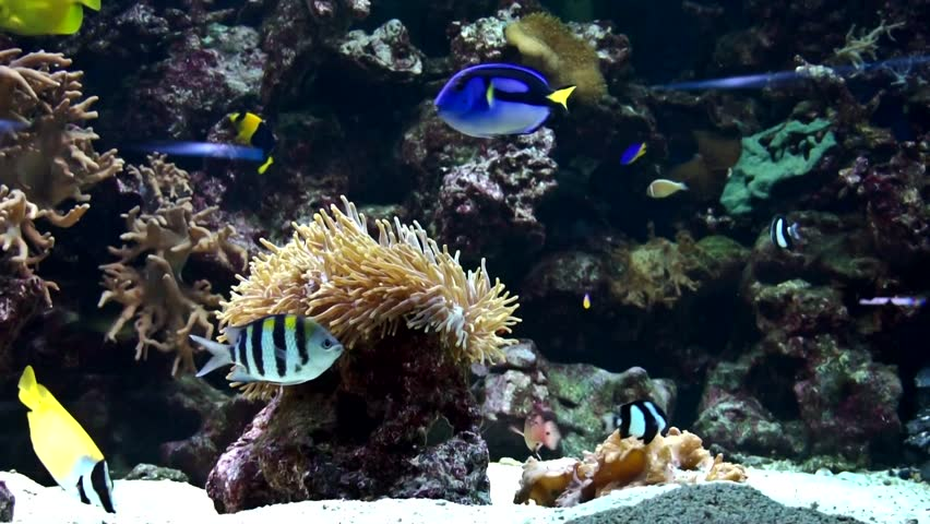 reef fish swim peacefully among the corals in the background of sea anemones and soft corals