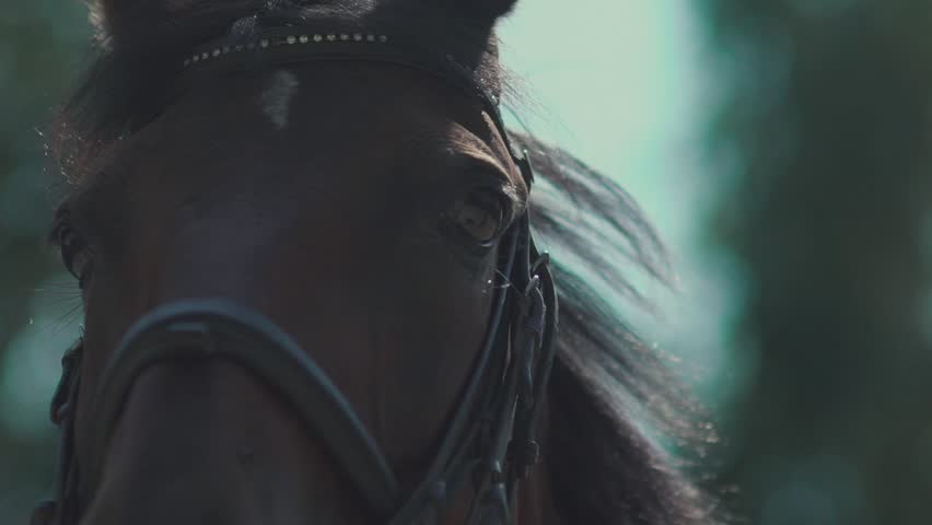 The brown horse with settled eye, harness and bridle made of leather and metallic belts. Beautiful horse looking at the camera. Polo Horse Blinking in slow motion. The eyes of the horse. Muzzle horse