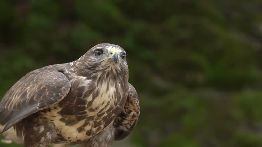Red-tailed hawk. Bird of prey. Slow motion shot