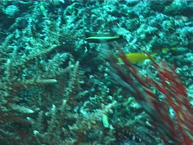 Ringwrasse swimming on rubble, Hologymnosus annulatus, UP6753 | Shutterstock HD Video #19509325