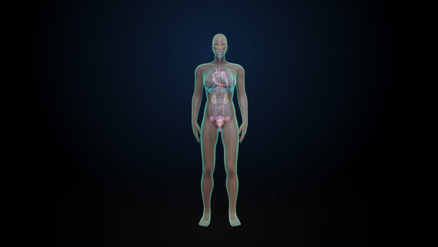 x-ray scan of full body human muscles, skeleton and organs anatomy, Skeleton