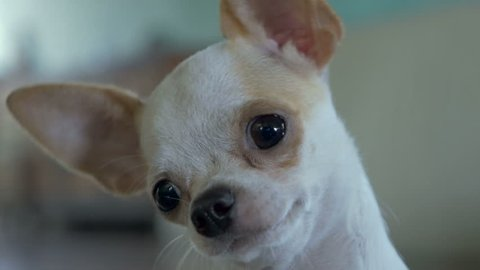 A close up of an adorable chihuahua tilting it's head back and forth in an inquisitive or curious fashion.