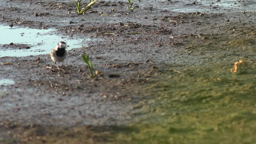 Wagtail in natural environment. White wagtail (motacilla alba) and yellow wagtail (motacilla flava) near water.Ultra hd 4k, real time | Shutterstock HD Video #19571815