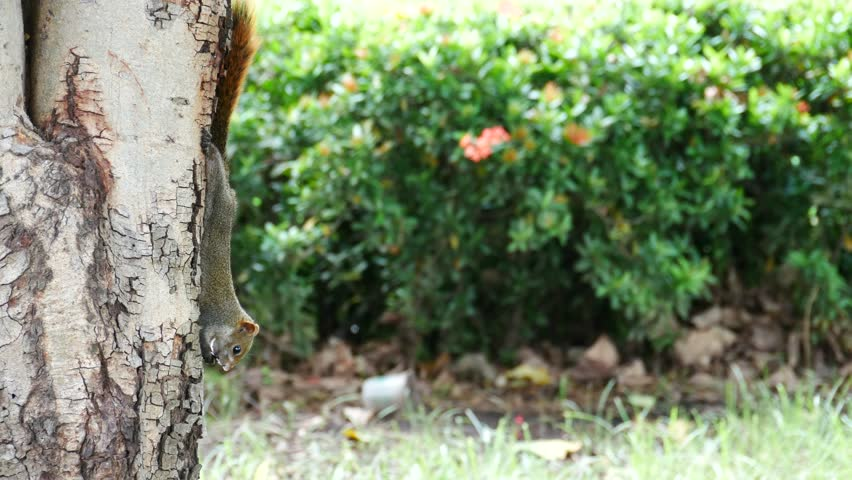 Gray cute squirrel sitting on a branch in a tree eating acorns | Shutterstock HD Video #19589185