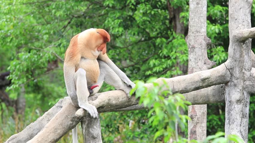 Male Proboscis Monkey prepares to mate | Shutterstock HD Video #19648765