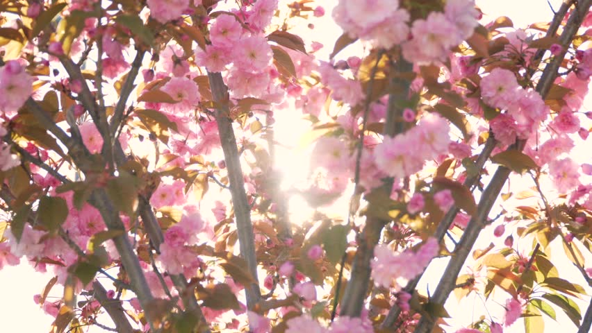 Spring flower cherry sakura tree branch blossom background pan Sun backlit pink white cherry tree branch sakura flower blossom background Cherry sakura tree flower blossom spring Cherry tree blossom
