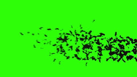 flock of bats. flock of birds. mystical halloween concept. green screen footage