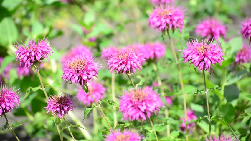 A lot of pink wild flowers shivering in the wind green background pink flowers in the garden on bed hd stock footage clip mightylinksfo Image collections