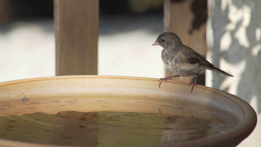 A small bird takes two drinks from bird bath and then hops out of frame. Shot at 240 fps.