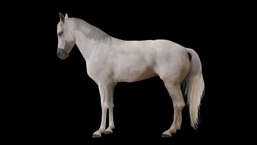 White Horse Grazing Drink,farm Animal Wild Life.beautiful ...