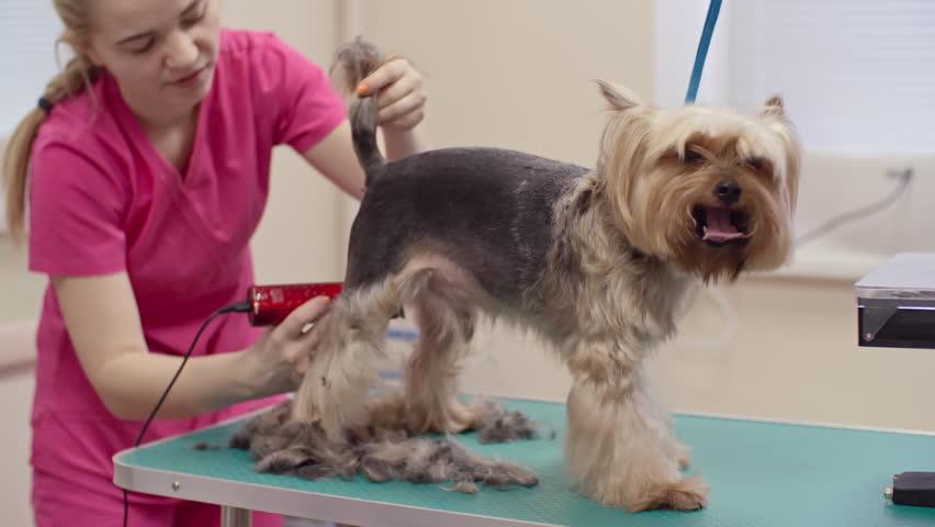 4k0026female Groomer Shaving Fur Yorkshire Terrier Dog Body With