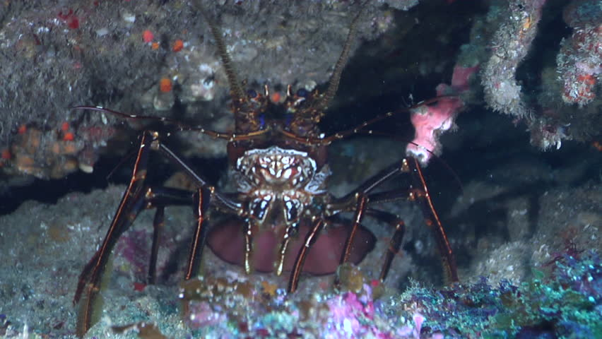 Longlegged spiny lobster, Panulirus longipes HD, UP20312 | Shutterstock HD Video #19816645
