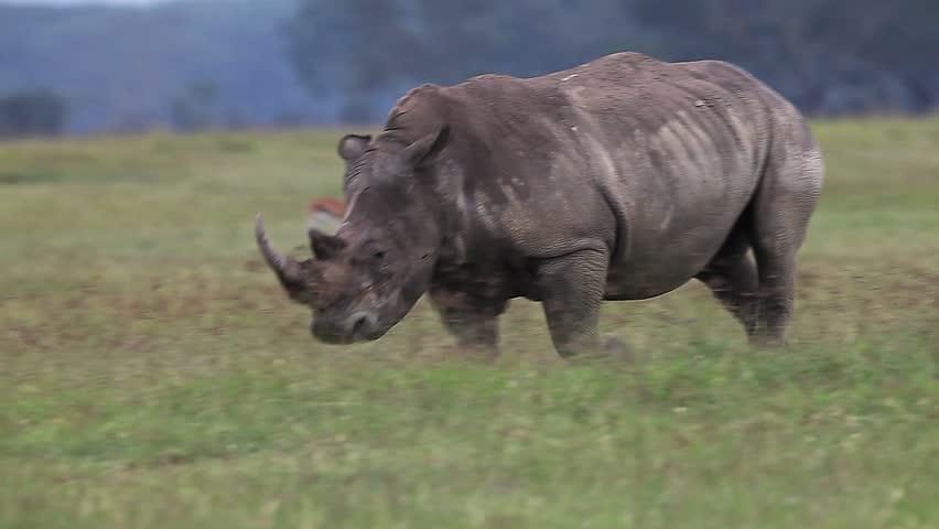 White Rhinoceros, ceratotherium simum, Female running throught Savanna, Nakuru Park in Kenya, Real Time