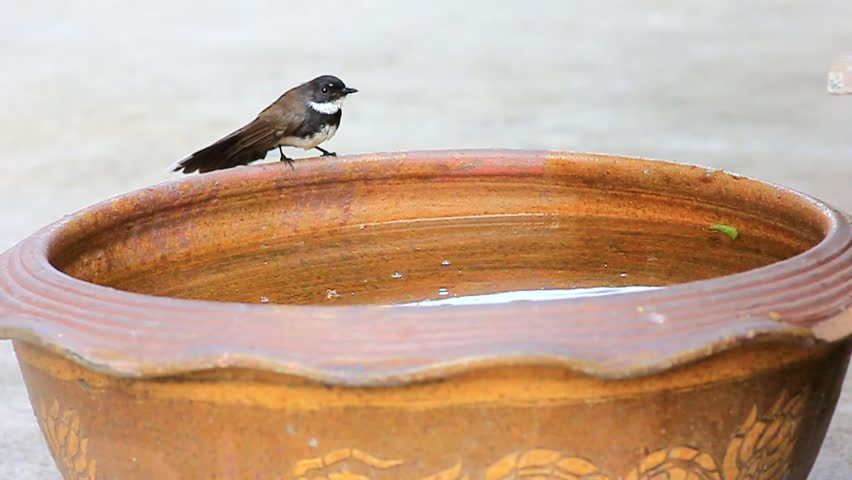 Oriental Magpie Robin bird take bath