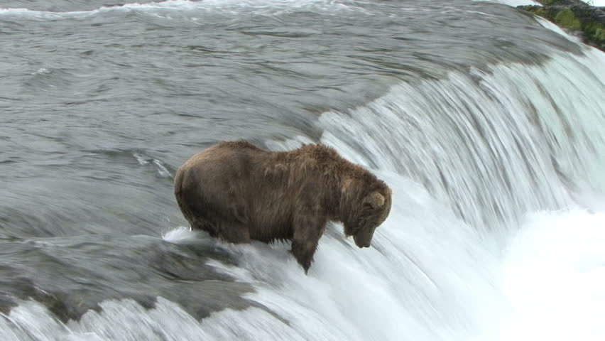 A Brown Bear catches and eats a salmon from atop Brook Falls in Alaska.