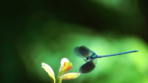 dragonfly inattentive