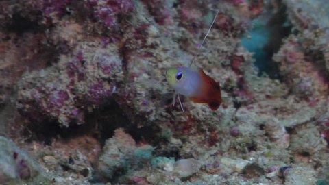 Fire dartfish hovering, Nemateleotris magnifica HD, UP17034