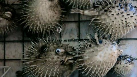 Souvenirs Porcupinefish, blowfish, balloonfish or globefish