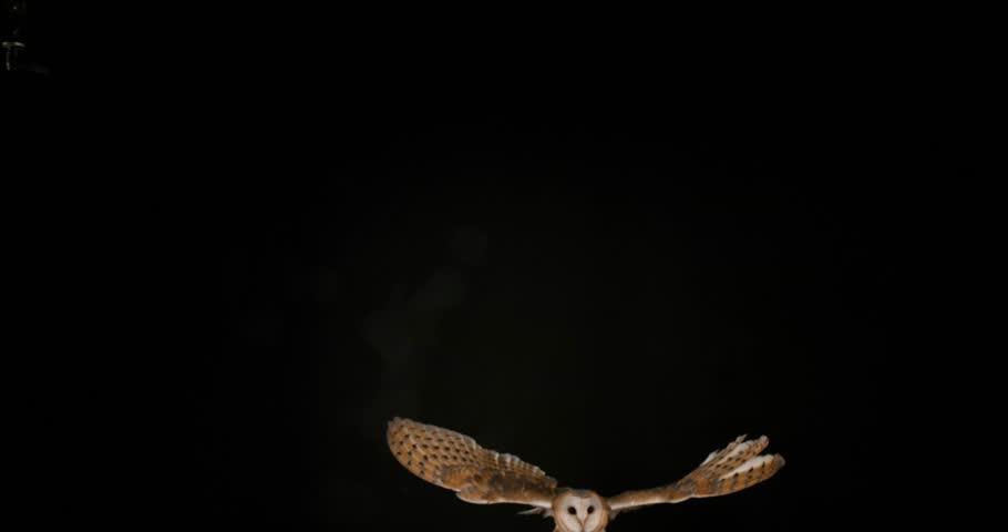 Barn Owl, tyto alba, Adult in flight, Normandy, Slow Motion 4K