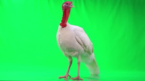 turkey-cock on green screen