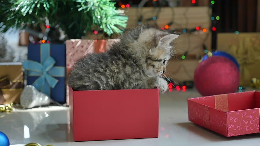 Cute tabby kitten playing in a gift box with Christmas decoration,slow motion | Shutterstock HD Video #20207575