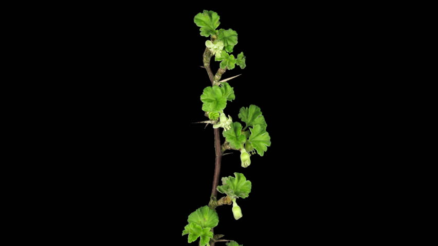Time-lapse of blooming gooseberry branch 1a3 in RGB + ALPHA matte format isolated on black background