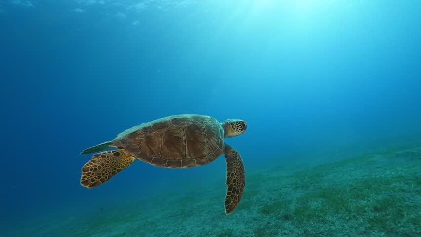 Turtle swims slow motion underwater  sun