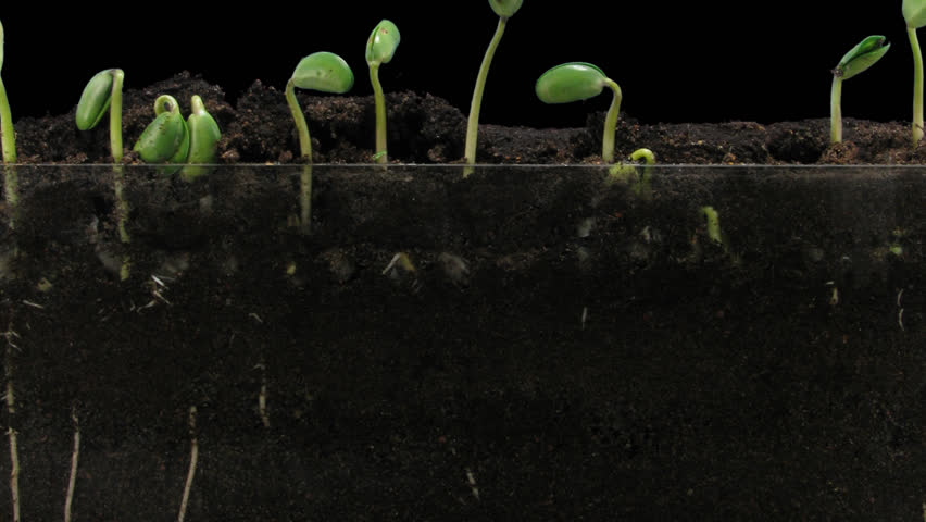 Time-lapse of growing soybeans vegetables 7a1 in PNG+ format with ALPHA transparency channel isolated on black background