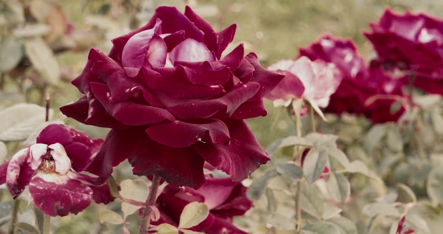 Big red roses in autumn garden set of footages | Shutterstock HD Video #20431945