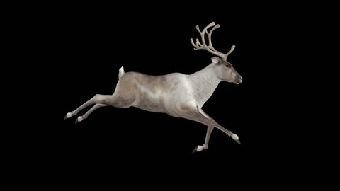 Reindeer - 02 - Run Loop - Side View - Alpha Channel - Realistic 3D animation of galloping caribou deer for winter season nature, event, holiday, greeting, promo, intro, logo, title, music decoration