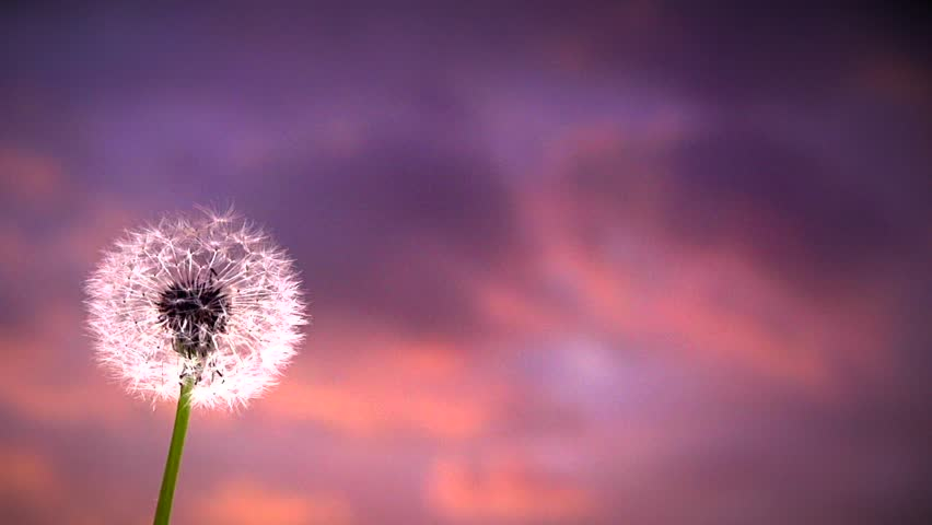 Dandelion over sunset background macro of dandelion seeds - Dandelion hd wallpapers 1080p ...