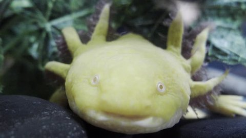 Detail of axolotl  swimming on aquarium