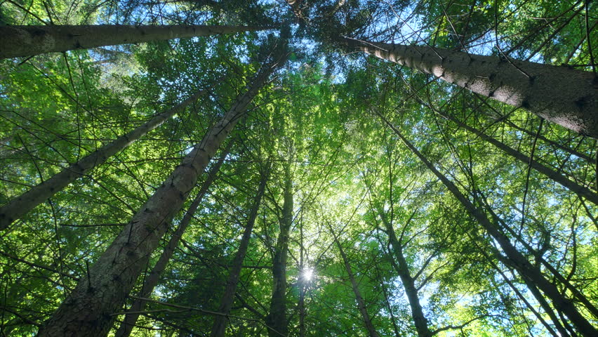 Beautiful deep green forest gleaming sunbeams woods stems trees low angle dolly nature sunny summer sun rays shimmer | Shutterstock HD Video #20596105