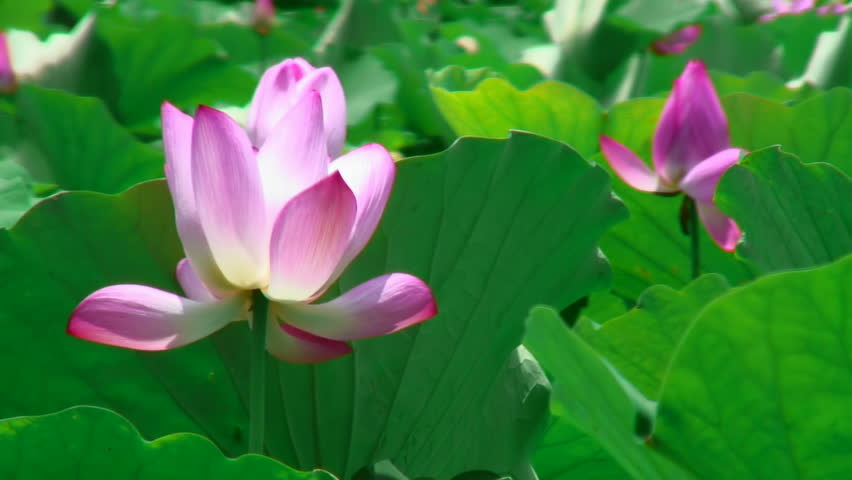 Pink lotus in gentle wind