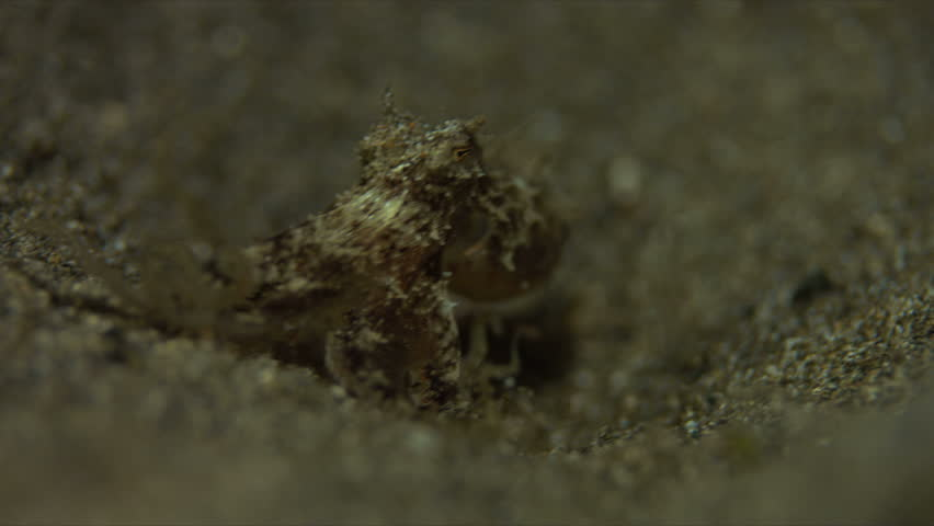 Small Octopus on sandy bottom. Catches some shrimps and fish. 4k footage #20660305