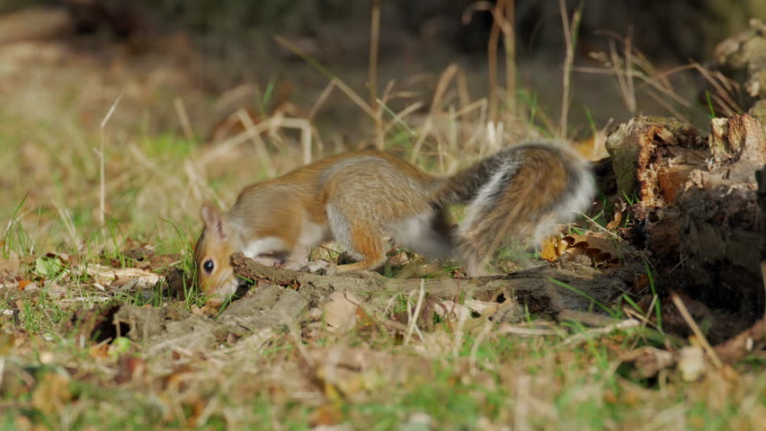 Grey or Gray Squirrel (Sciurus carolinensis) finding an acorn and burying or caching it in an autumn woodland