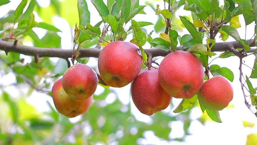 Apple Trees With Red Apples In Orchard. Stock Footage ...