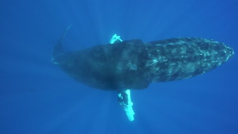 Humpback whale ascends from the blue and passes right below the camera