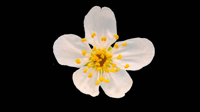 Daffodil (narcissus) blossoming timelapse cut out, encoded with photo png, transparent background/ Daffodil flower blossoming cut out timelapse #20718583