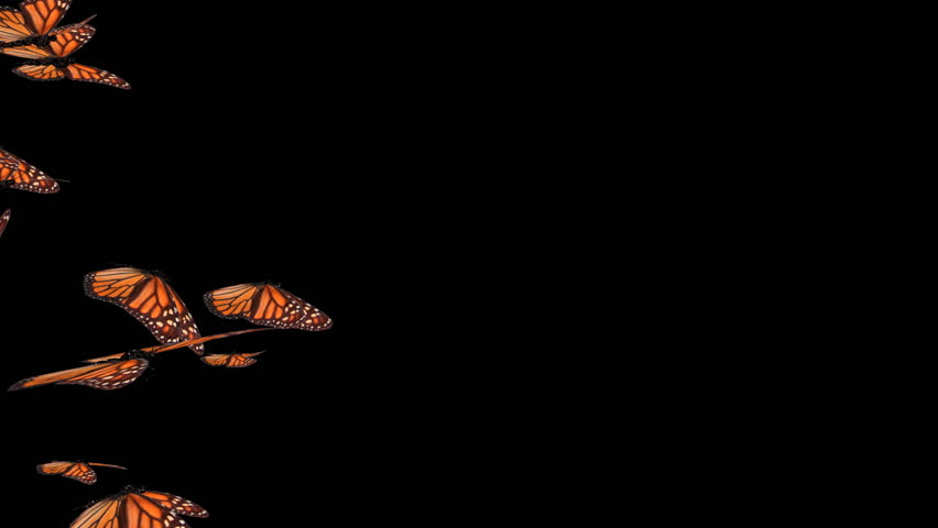 Monarch Butterly Swarm (HD).This is a complex animation made with hi res animated to resemble flying realistic butterflies.Wings not only flutter but bend as they stroke as if the wind was moving them