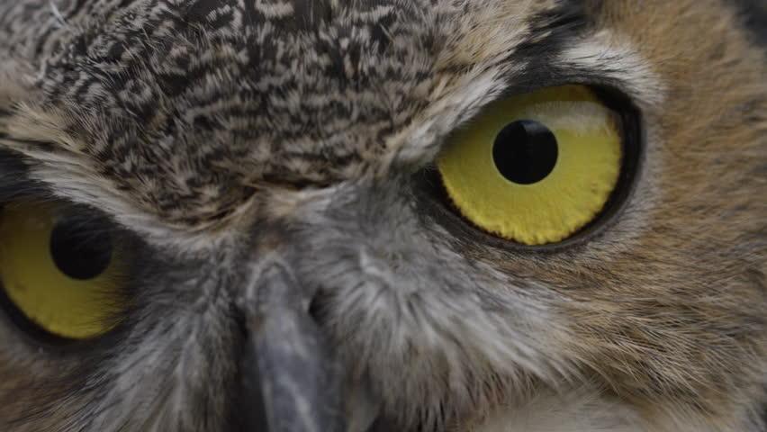 Horned owl slow motion blink of an eye    Shutterstock HD Video #20791885