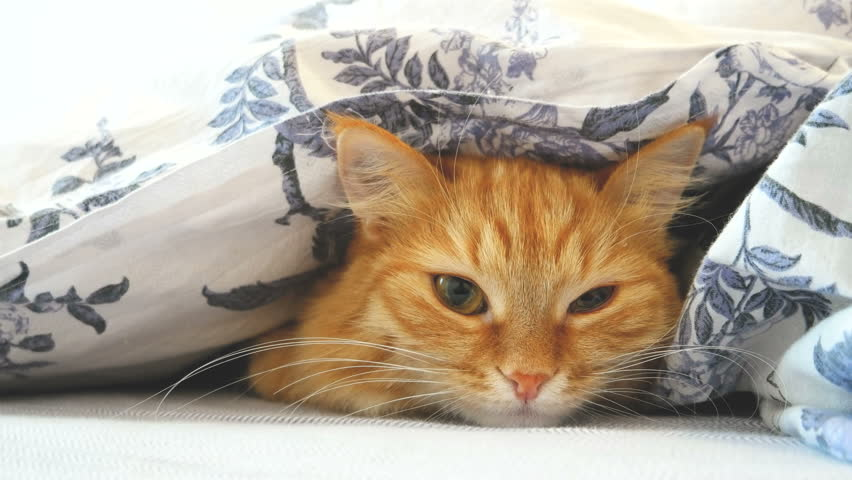Cute ginger cat lying in bed under a blanket. Fluffy pet comfortably settled to sleep. Cozy home background with funny pet. | Shutterstock Video #20822335