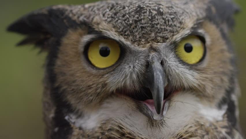 Horned owl tilt down to feathers  | Shutterstock HD Video #20833165