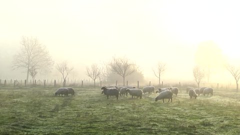 Flock of Sheep During Mist