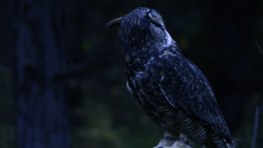 Horned owl at night turning head
