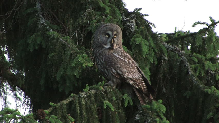 Great Grey Owl flying from tree to ground