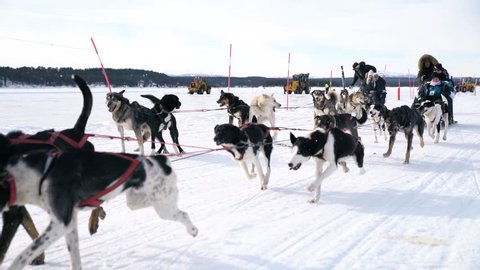 UNIQUE DRONE AERIAL SHOTS, Husky pack running on the snow with the recreation people behind them pulling them onto the snow compilation. Sports dogs running huskys in Sweden.