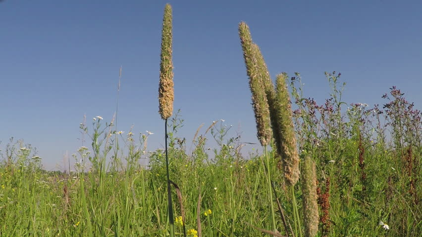 Header of meadow foxtail